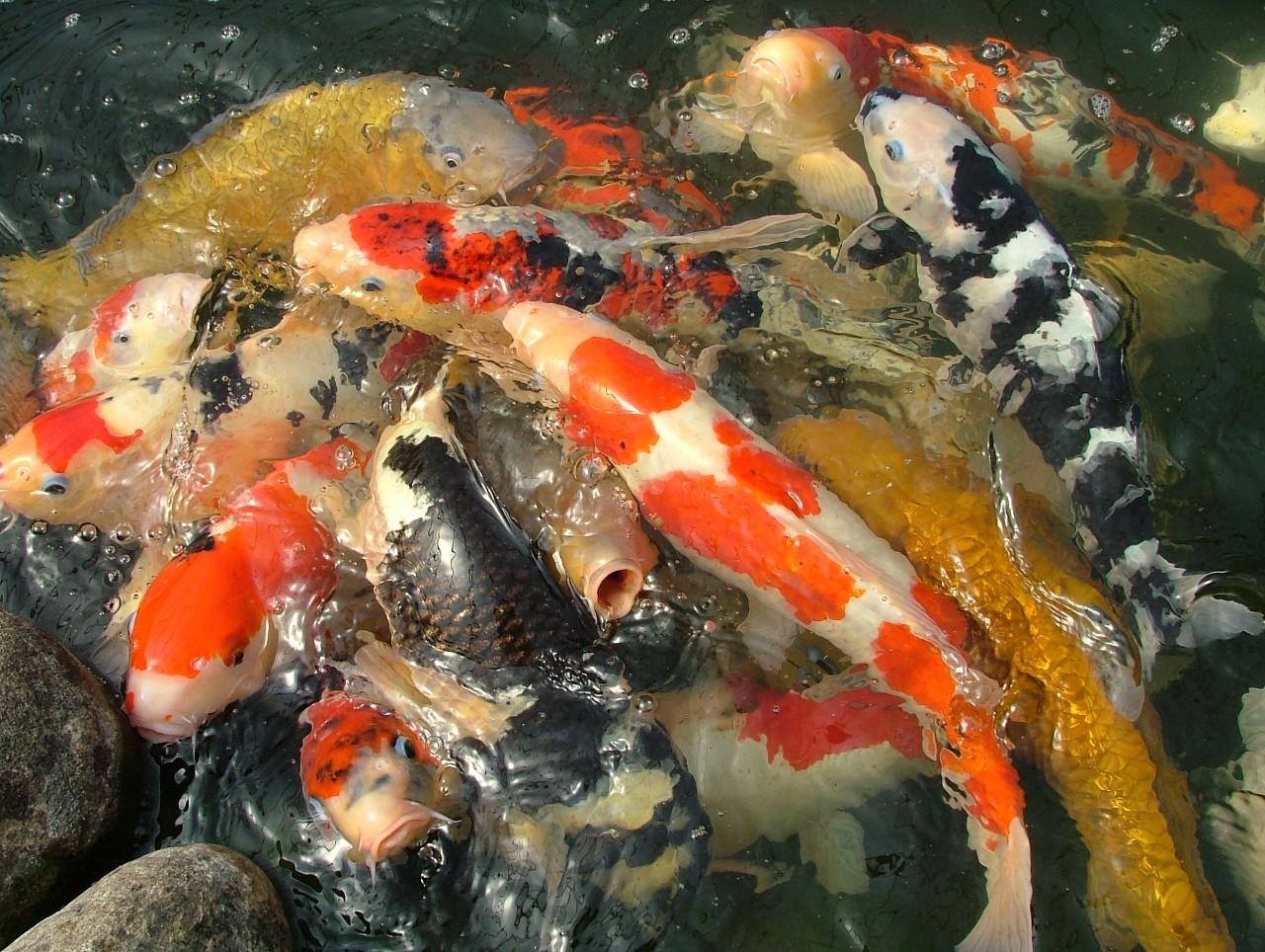 Other seagrave ontario lake ridge farm koi nursery for Male koi fish